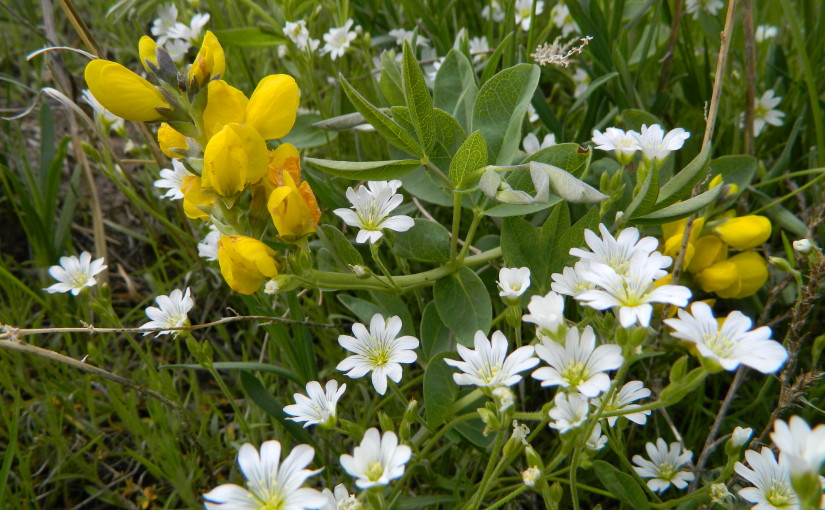Prairie wildflowers Golden Peas and white asters